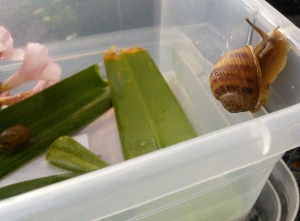 Common garden snail
