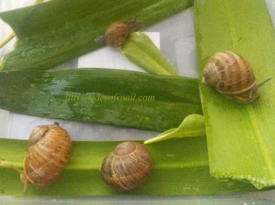 Wild snails
